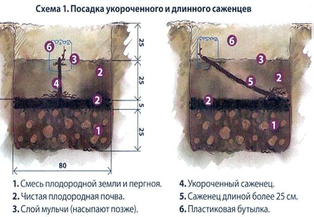 Схема посадки как сажать виноград