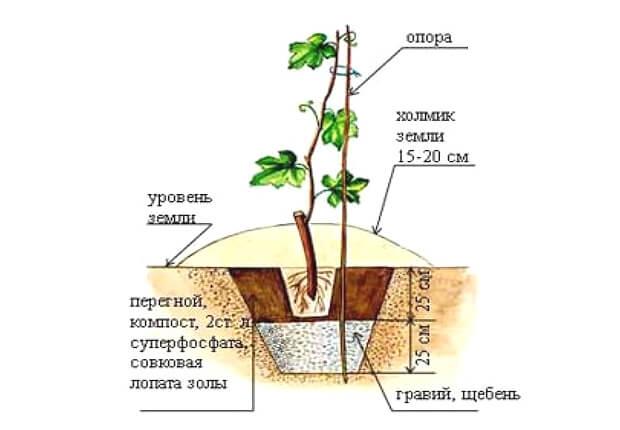 Схема посадки винограда от садоводов