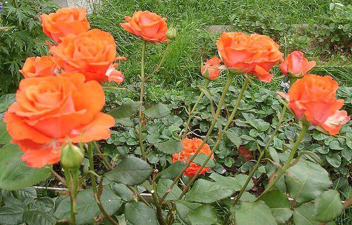 красные розы из черенков на даче