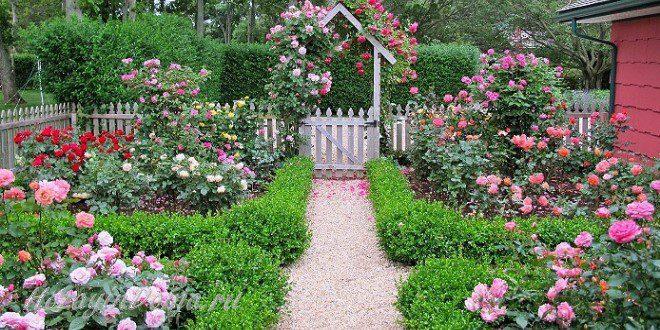 Розы на даче из черенков