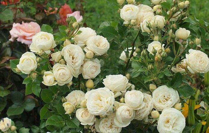 Белые розы на даче