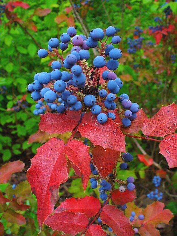 Плоды и листья магонии