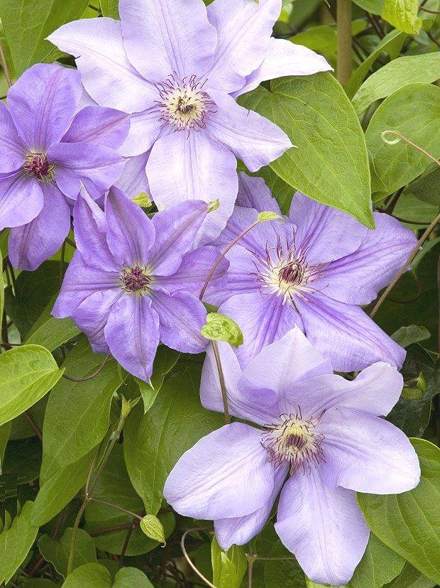 цветки фиолетового клематиса