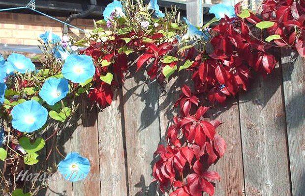 вьющиеся растения на заборе
