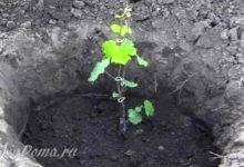 Photo of Пошаговый процесс посадки винограда весной и осенью